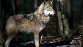 In Niederösterreich sollen Wölfe mit Gummikugeln von Schafen und Ziegen ferngehalten werden. (Symbolbild)