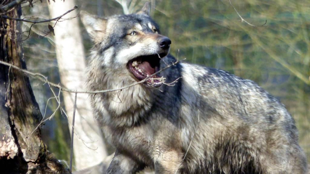 Wolf reisst bei Nacht ein Schaf