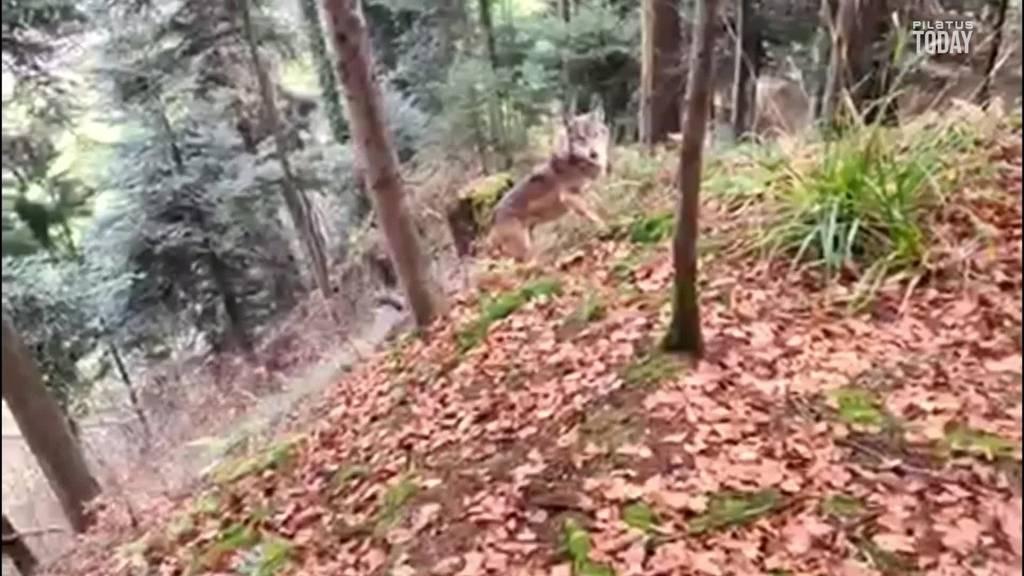 Hier streift ein Wolf durch die Wälder am Pilatus