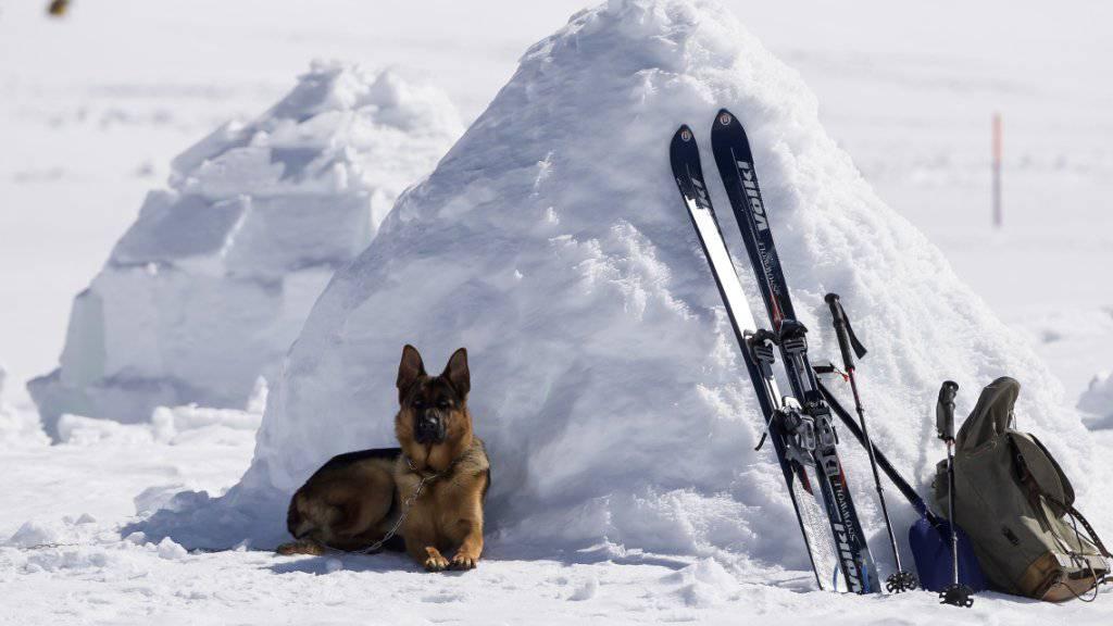 Nach der Arbeit kommt das Vergnügen: Ein Hund entspannt sich an den Schweizer Meisterschaften der Lawinenhunde in der Nähe von Adelboden BE.
