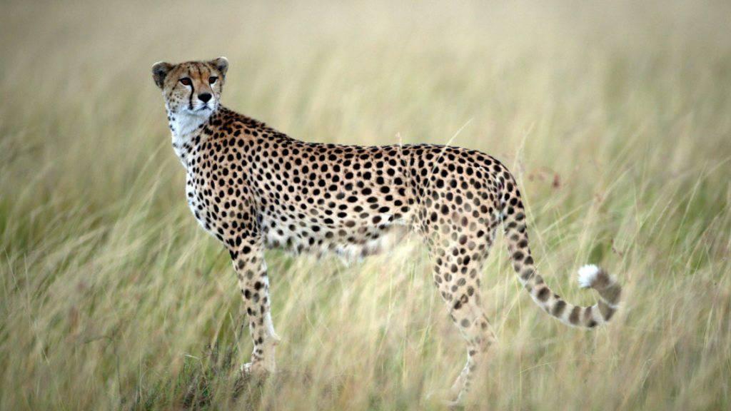 Zwei Geparden haben in Südafrika eine Soldatin angegriffen und verletzt. (Symbolbild)