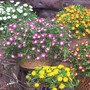 Delosperma «Wheels of Wonder»
