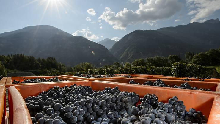 Die Walliser Winzer sind mit der Weinernte 2016 sowohl quantitativ als auch qualitativ sehr zufrieden. (Archiv)