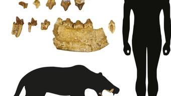Ein Basler Forscher hat eine unbekannte Gattung eines über 40 Millionen Jahre alten Raubtiers entdeckt. Die Zähne und Kieferfragmente werden bereits seit 100 Jahren in den Sammlungen des Naturhistorischen Museums Basel aufbewahrt. (Symbolbild)