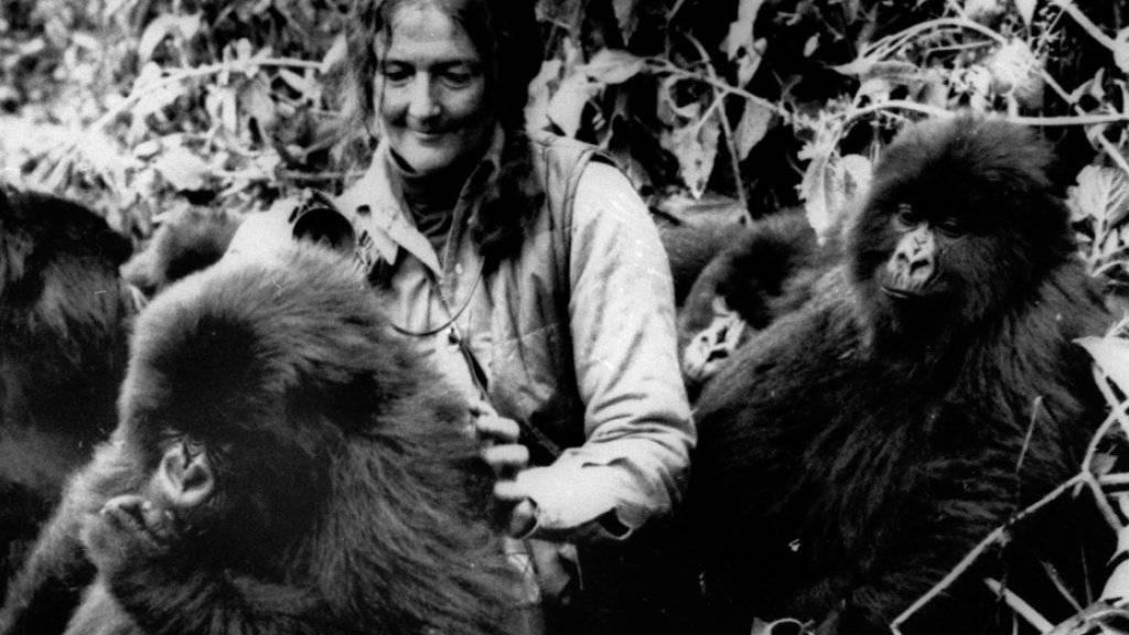 Dian Fossey (1932-1985) mit drei «ihrer» Berggorillas im Gebiet der Virunga-Vulkane in Ruanda in einer Archivaufnahme aus dem Jahr 1982. (Archivbild)