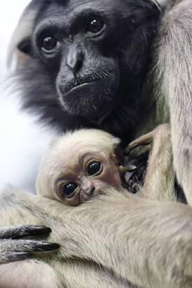 Junger Kappengibbon mit Mutter am traditionellen Medien-Apero im Zürcher Zoo am Donnerstag.