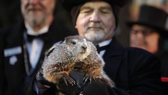 Der Winter in den USA wird lang: Phil, das Murmeltier aus dem Örtchen Punxsutawney in Pennsylvania, hat noch sechs Wochen Kälte voraus gesagt.