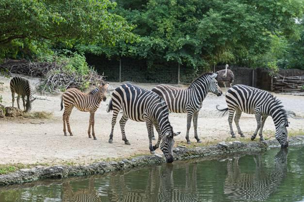 Die Zebraherde im Zoo Basel umfasst zurzeit sechs Tiere, drei erwachsene Stuten und drei Junge