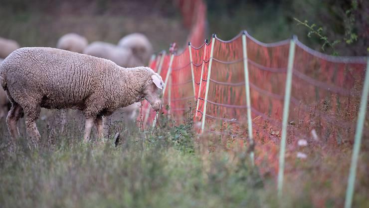 Auf einer Weide in Niederweningen wurden fünf Schafe gerissen. (Symbolbild)