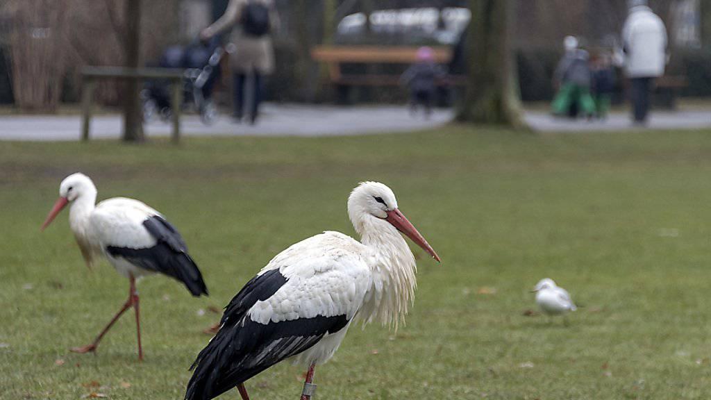 In Basel überwintern Störche mitten in der Stadt und stapfen bei Kälte durch den Schützenmattpark. Im nahen Zoo an Menschen gewohnt, finden die grossen Vögel offenbar auf aperem Park-Rasen eher Futter als auf verschneiten Wiesen der Umgebung.