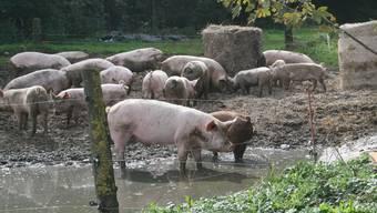 Die Schweine auf dem Hofgut Farnsburg haben ein schönes Leben
