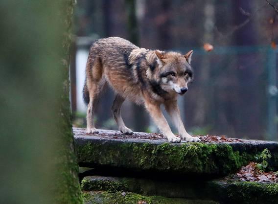 Ein Wolf im Wildtierpark Hanau (D), fotografiert am 18. Dezember 2014.