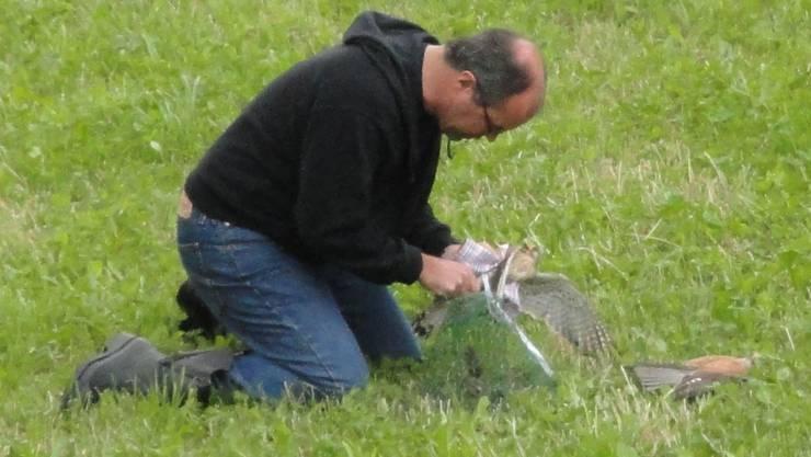 Ein Turmfalkenpärchen wird in Sisseln von Projektleiter Martin Spiess von der Vogelwarte Sempach aus der Falle geholt.