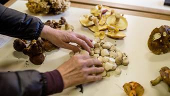 In der Dietiker Pilzkontrollstelle werden diese Saison drei interimistische Prüfer arbeiten. Alle stellte der Pilzverein Schlieren. (Symbolbild)