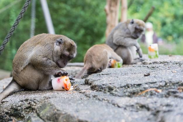Die Javaneraffen werden mit gefrorenen Snacks gefüttert.
