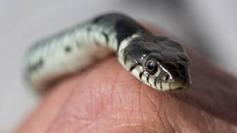 Die unbekannte Schlange wurde noch nicht gefunden. Die Baslebieter Polizei warnt die Bevölkerung. (Symbolbild)