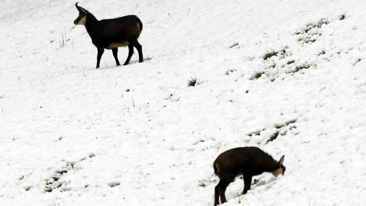 Zwei Gemsen im Schnee – ganz offensichtlich gerade nicht durch eine Treibjagd bedrängt.   Symbolbild: Urs Flüeler/Keystone
