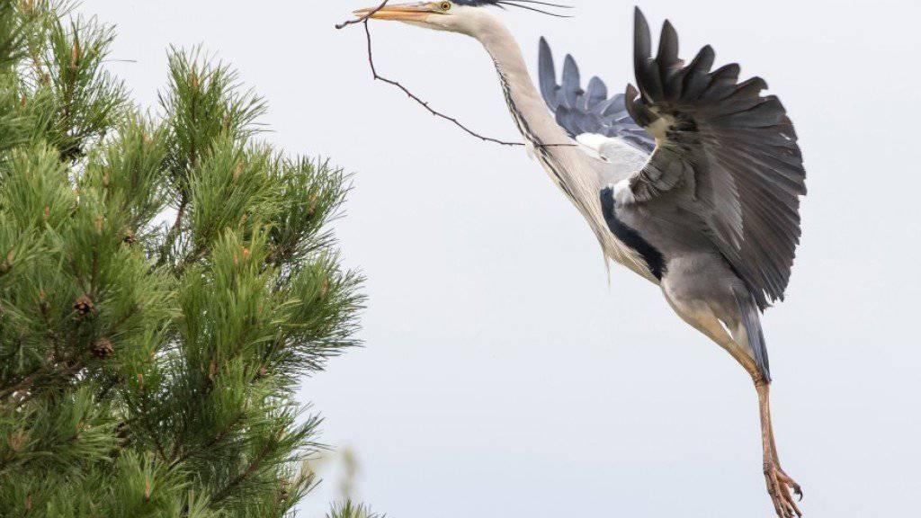 Die Graureiher in der Vogelwarte Sempach renovieren mit neuem Nistmaterial ihre Nester aus dem Vorjahr, um sich auf die Brutzeit vorzubereiten.