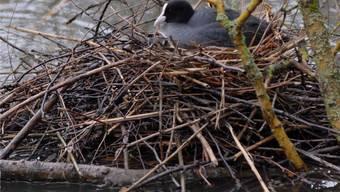 Nicht alle Wasservögel haben ein solches Glück: Viele Nester wurden vom Hochwasser überschwemmt. az
