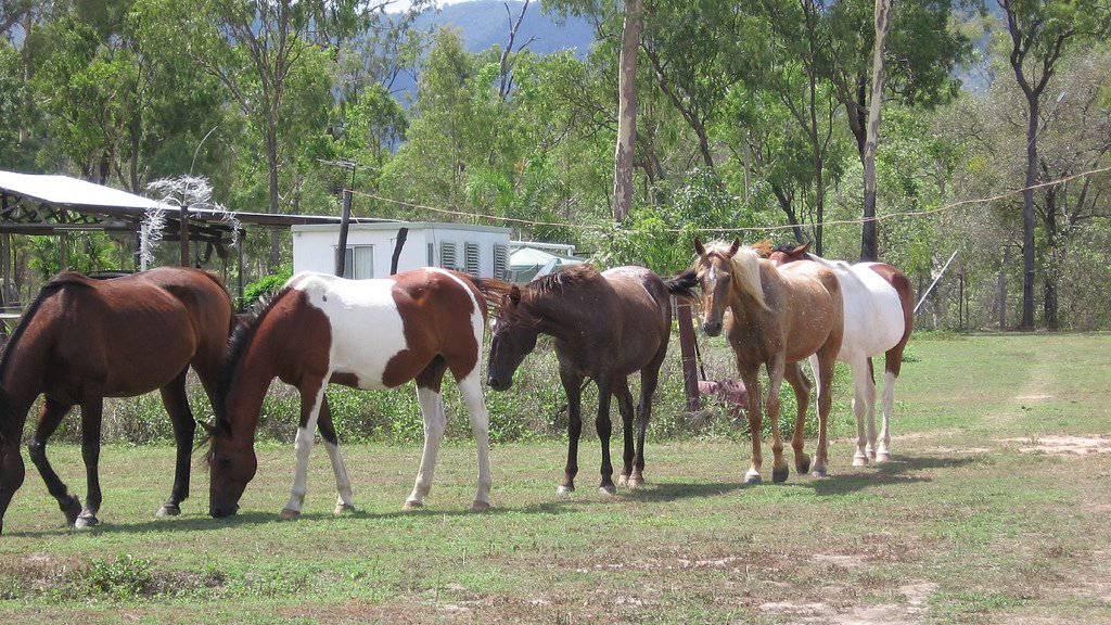 Die Brumbies sind eine verwilderte Pferderasse - und diese liegt den Bewohnern von New South Wales sehr am Herzen. (Themenbild)