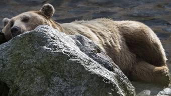 Martin, der syrische Braunbär, büxte aus dem Zoo in Servion aus.