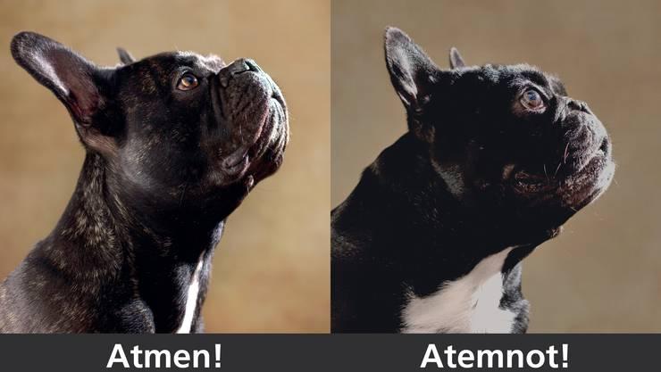 Unter extremer Kurzköpfigkeit leiden auffallend viele Hunde dieser Rasse – wie jener rechts auf dem Bild. Sie kämpfen mit Atemnot, können die Körpertemperatur kaum regulieren und sind leistungsschwach. Weil ihre Schädel grösser gezüchtet werden, sind vermehrt Kaiserschnitte nötig. Nicht alle Französischen Bulldoggen sind betroffen. Ein gesunder Rassehund ist links auf dem Kampagnen-Flyer der Tierärzte zu sehen.