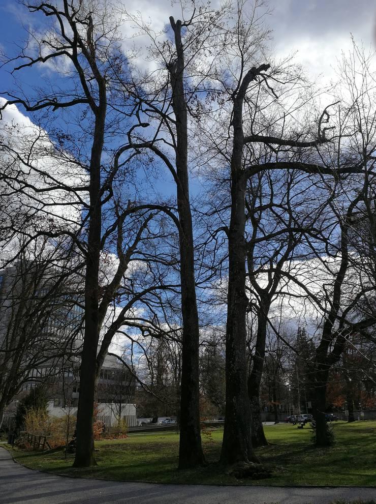 Der Baum im Rathauspark ist von einem Pilz befallen und muss gefällt werden.