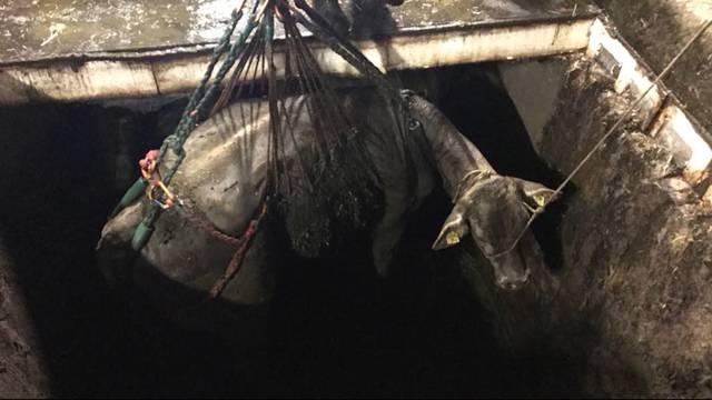 Trächtige Kuh aus Gülleloch gerettet