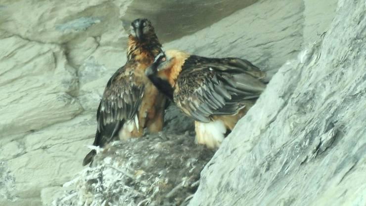 Zum ersten Mal hat ein Bartgeierpaar in der Region Zermatt einen Jungvogel ausgebrütet und erfolgreich aufgezogen.