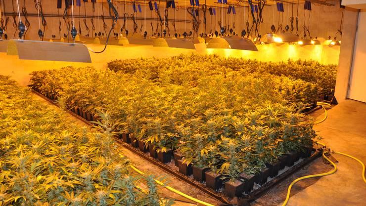 2500 blühende Hanfpflanzen hat die Polizei angetroffen.