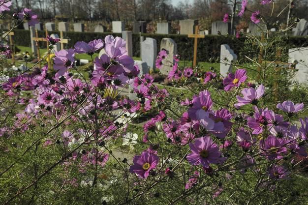 Prächtige Kosmosblumen auf einem frischen Grab.