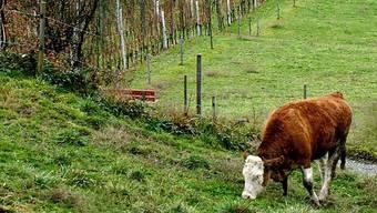 Ein junger Stier macht sich in der Zentralschweiz aus dem Staub (Symbolbild)
