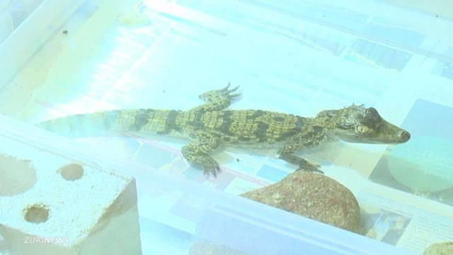 Krokodil-Besitzer gefunden