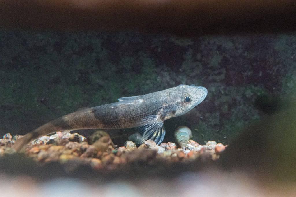 Der Rohne-Streber ist die am stärksten gefährdete Fischart der Schweiz.