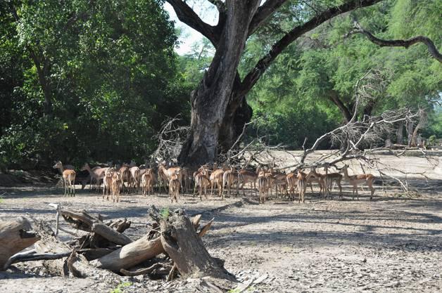 Diese Impala-Antilopen-Herde befindet sich nicht weit von den Leoparden.