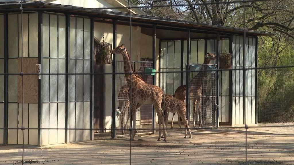 Kindheitstraum wird wahr: Eine Giraffenfamilie zur Pensionierung für den Tierparkdirektor