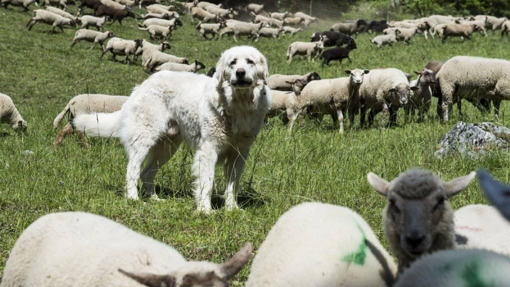 Herdenschutzhunde beschützen Schafe und Ziegen - dieser Instinkt ist für die Menschen nicht immer angenehm. (Archivbild)