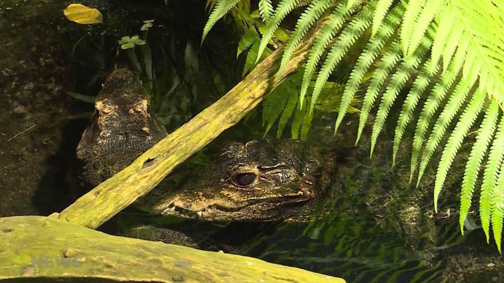 Wie gefährlich ist die Arbeit mit Krokodilen?