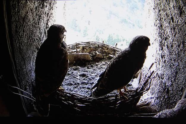 Sie hangeln sich auf dem Nestrand herum