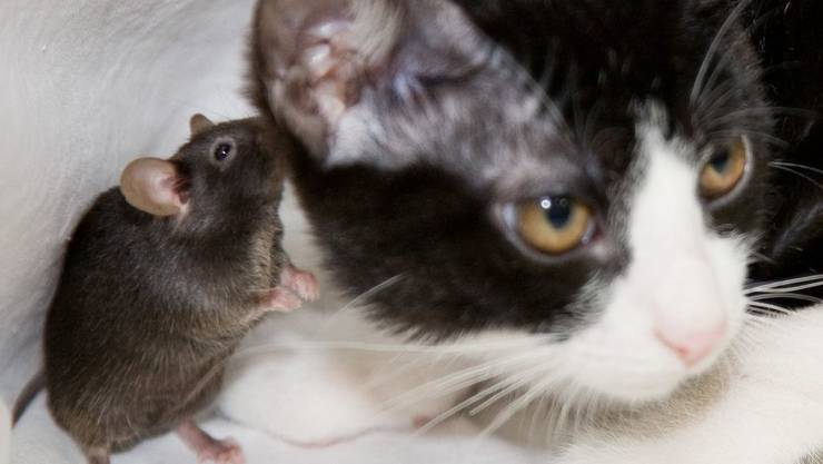 Auch wenn Katzen zu Hause edelstes Futter vorgesetzt kriegen, verzichten sie nicht darauf, Tiere zu töten – und sei es nur zum Spiel. Am erbeuten sie Mäuse und Spitzmäuse.