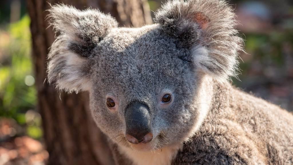Koala Milo ist tot