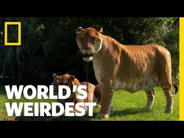 Hybrid-Katze: So sehen Liger aus, wenn sie gross sind, und das steckt dahinter.