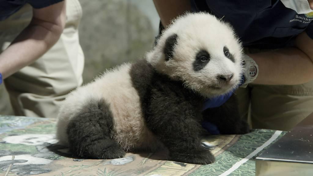 Pandababy in Washingtoner Zoo heisst «Kleines Wunder»