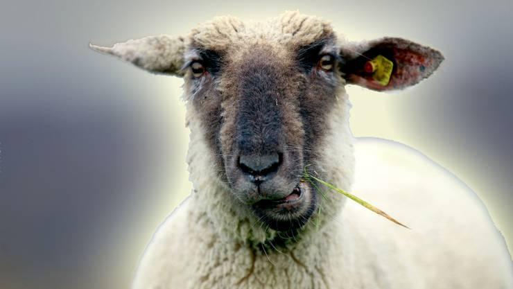 Leuchtendes Schaf