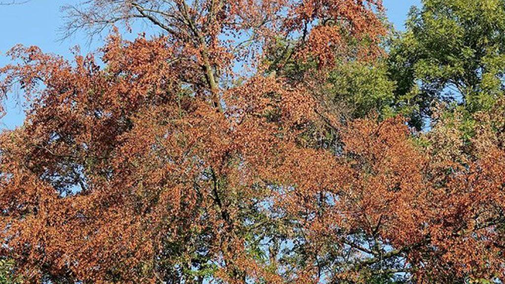 Dass sich Wälder nach dem Hitzesommer 2018 früher als üblich verfärben, ist noch kein Alarmzeichen. Bäume können mit extremer Trockenheit unerwartet gut umgehen, haben Forschende der Universität Basel heraus gefunden. (Bild: Universität Basel)