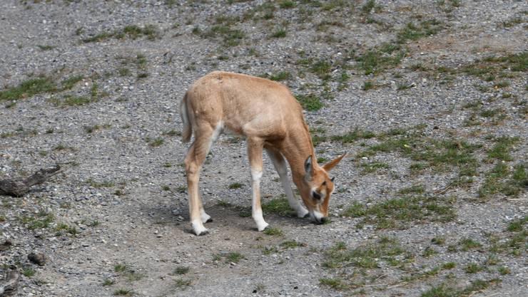 Der Zoo Zürich freut sich über den neuen Nachwuchs bei den Säbelantilopen in der Lewa Savanne.