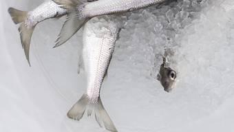 Immer weniger Felchen werden aus dem Bodensee gefischt. Nun fällt erstmals seit 1964 der Laichfischfang aus, mit dem die Bestände erhöht werden konnten. (Symbolbild KEYSTONE/Gian Ehrenzeller)