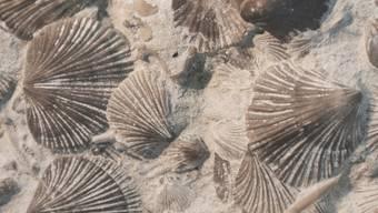 Durch die Bor-Isotopen-Analyse der Schalen von solchen Brachiopoden konnten Forscher rekonstruieren, was vor 250 Millionen Jahren zum grössten Massenaussterben der Erdgeschichte führte (Wikicommons).