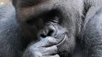 Wieder im Gehege: Gorilla Koga aus Zoo von Buffalo