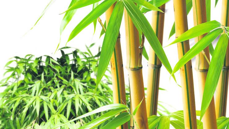 Bambus ist ein leicht verfügbarer und zugleich hochwertiger Rohstoff.
